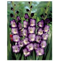 20 seeds/bag Different Perennial Gladiolus Flower Seeds, Rare Sword Lily Seeds very beautoful for home garden planting