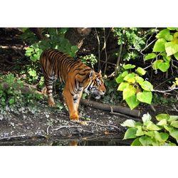 Fototapeta tygrys 417