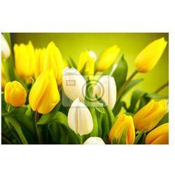Fototapeta Żółte i białe tulipany na zielonym tle