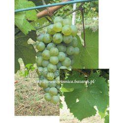 Riesling włoski sadzonka winorośli promocja!