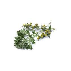 Foto naklejka samoprzylepna 100 x 100 cm - Piołun (Artemisia absinthium)