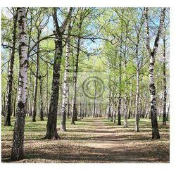 Fototapeta Pierwsze wiosenne zieleni w brzozowy las